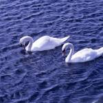 """Swans on a lake"" by Countryside-Photos"