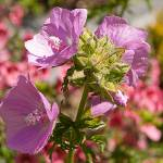 """Musk Mallow"" by Countryside-Photos"