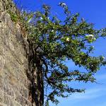 """Hawthorn in brick wall"" by Countryside-Photos"