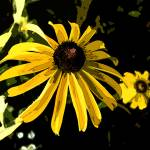 """Black Eyed Susan"" by jodipflepsen"