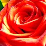 """Rose"" by JDCAPTURE"