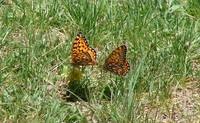 Colorado Butterflies