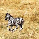 """zebra"" by GingerPhotography"