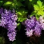 """Lilac Botanical"" by EMBlairArtwork"