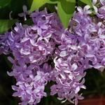 """Lilacs"" by EMBlairArtwork"