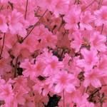 """Pink Azalea"" by EMBlairArtwork"