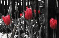 The red tulips