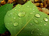 Beads Of  Water On Leaves