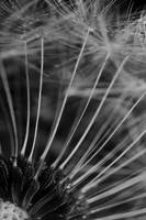 Wet Forest, Dandelion Seeds