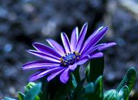 Cape Daisy in a blue tone