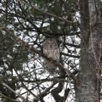 """""""Owl"""" by dcotnoir"""
