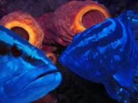 Groupers (blue)