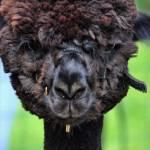 """""""Black Baby Alpaca"""" by tumultuouswoman"""