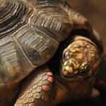 """Tortoise 2"" by tumultuouswoman"