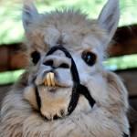 """Bucktooth Llama"" by tumultuouswoman"