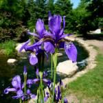 """""""Siberian Iris"""