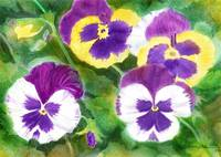 Pansies for Marie