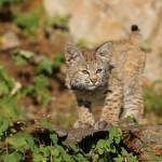 """Bobcat, 10 week old"" by MarkWells"