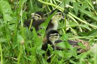 Baby Woodduck