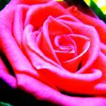 """Rose 4"" by JDCAPTURE"