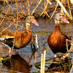 """Blackbelly Whistling Ducks #5"" by DAD"