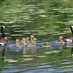 """Canadian Goose Family"" by jodipflepsen"