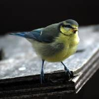 Blue Tit Fledgling Art Prints & Posters by Vic Sharp