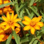 """Yellowish flowers in garden next to Sam Houston st"" by BandMPhotography"