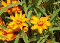 Yellowish flowers in garden next to Sam Houston st
