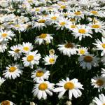 """Fields of daisies"" by rasvihlik"