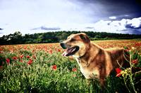 Poppy Fields Dog