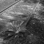 """Over Grown Railroad Tracks (Black and White)"" by smc762"
