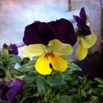 """""""pansy"""" by balancedcrafts"""