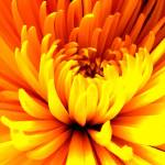 """""""Yellow Bloom"""" by JDCAPTURE"""