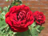 Red Roses in Cuautitlan