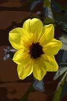 Yellow Dahlia Two