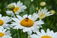 Lazy Daisy Bee