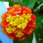 """Lantana after Summer Rain"" by MaryDolan"