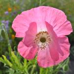 """Macro Pink Iceland Poppy"" by PatriciaSanders"