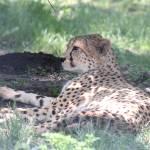 """cheetah"" by fejesb"
