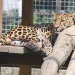"""""""Leopard"""" by fejesb"""