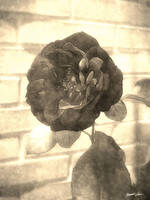 Old Red Rose 2 Antiqued