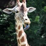 """""""Funky Giraffe"""" by lokisdk"""