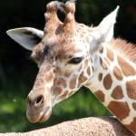 """""""Sweet Giraffe"""" by lokisdk"""