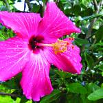 """Hot Pink Hibiscus"" by MaryDolan"