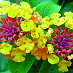"""Lantana Buds"" by MaryDolan"