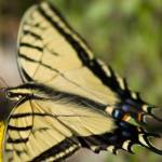 """Tiger Swallowtail Butterfly"" by ellcee"