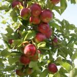 """""""Apples - portrait"""" by dcotnoir"""