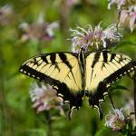 """Eastern Tiger Swallowtail Butterfly"" by tricia"