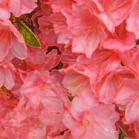 Azaleas 3293 v1 Art Prints & Posters by Sandra Gould Ford